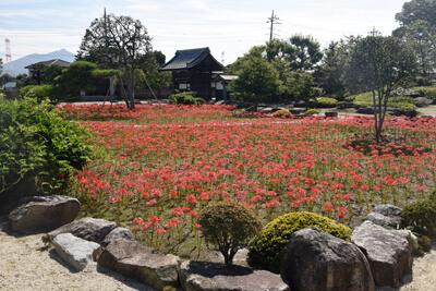 庭園(彼岸花の群生)